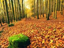 Stagione di caduta Sun attraverso gli alberi sul percorso in foresta dorata Fotografie Stock Libere da Diritti
