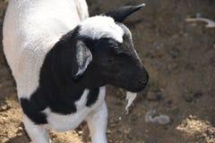 Stagione di parto al corallo delle pecore del ` s della nonna: Produzione animale navajo nel XXI secolo immagine stock libera da diritti