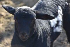 Stagione di parto al corallo delle pecore del ` s della nonna: Produzione animale navajo nell'era dell'elettronica fotografie stock