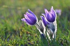 Stagione di primavera Bei fiori porpora che fioriscono in un giorno soleggiato Con un fondo colorato naturale del prato Flusso di fotografie stock