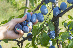Stagione di raccolto della prugna Prugna femminile di raccolto della mano nel campo Immagini Stock Libere da Diritti