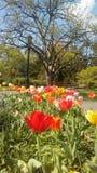 Stagione di Tulipan fotografia stock