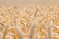 Stagione dorata del raccolto del grano Fotografia Stock Libera da Diritti