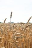 Stagione dorata del raccolto del grano Fotografia Stock