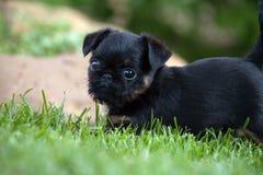 Stagione estiva del giardino di Griffon Baby Dog immagine stock
