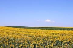 Stagione estiva del paesaggio di agricoltura del giacimento del girasole Fotografie Stock