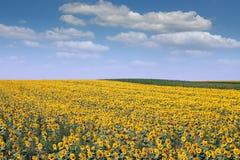 Stagione estiva di agricoltura del paesaggio del giacimento del girasole Fotografia Stock Libera da Diritti
