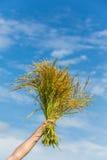 Stagione havesting del riso fotografia stock