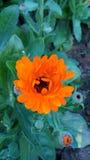 Stagione invernale del fiore di Sun Fotografie Stock
