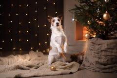 Stagione 2017, nuovo anno di Jack Russell Terrier Christmas del cane Immagini Stock