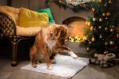Stagione 2017, nuovo anno di Natale di Nova Scotia Duck Tolling Retriever del cane Fotografia Stock