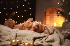 Stagione 2017, nuovo anno di Natale di Nova Scotia Duck Tolling Retriever del cane Fotografie Stock