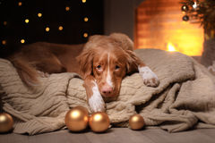 Stagione 2017, nuovo anno di Natale di Nova Scotia Duck Tolling Retriever del cane Immagini Stock Libere da Diritti