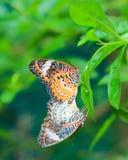 Stagione per crescere della farfalla Immagini Stock Libere da Diritti