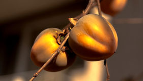Stagione succosa dell'oro della luce naturale del cachi Fotografia Stock