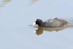 Stagni dell'anatra dell'uccello della palude della folaga europei Immagini Stock