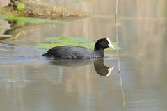 Stagni dell'anatra dell'uccello della palude della folaga europei Fotografie Stock