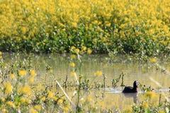 Stagni dell'anatra dell'uccello della palude della folaga europei Fotografia Stock