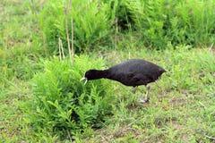 Stagni dell'anatra dell'uccello della palude della folaga europei Immagine Stock