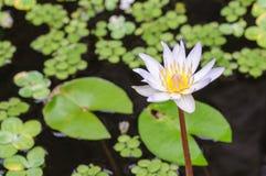 Stagno con bianco waterlily Fotografie Stock Libere da Diritti