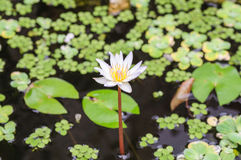 Stagno con bianco waterlily Fotografia Stock Libera da Diritti