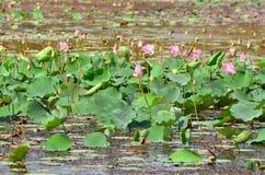Stagno con i fiori di rosa del loto Immagini Stock Libere da Diritti