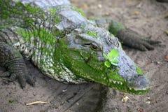 Stagno del coccodrillo di Kachikally, Bakau, Gambia, Africa occidentale Immagini Stock
