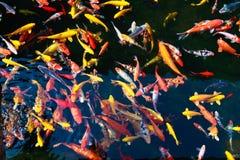 Stagno del parco nel pesce rosso dell'ornamentale di allevamento Immagini Stock Libere da Diritti