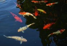 Stagno del pesce della carpa Fotografia Stock