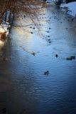 Stagno dell'anatra del parco di inverno nel giorno soleggiato Fotografia Stock