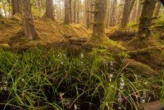 Stagno della foresta con i tronchi di vecchio-crescita Fotografia Stock Libera da Diritti