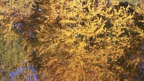 Stagno della foresta di autunno con le riflessioni stock footage