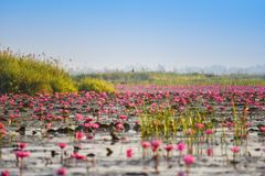 Stagno della palude di rosa di Lotus Immagine Stock Libera da Diritti