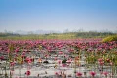 Stagno della palude di rosa di Lotus Immagini Stock