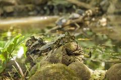 Stagno della tartaruga Immagine Stock Libera da Diritti