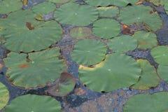 Stagno di loto inquinante. Fotografia Stock