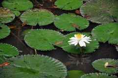 Stagno di Lotus in Kuala Lumpur Lake Garden Immagine Stock Libera da Diritti