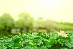 Stagno di Lotus nella fioritura a mezzogiorno ed al fondo nebbioso Fotografia Stock Libera da Diritti
