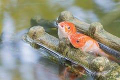 Stagno di pesce di Koi Fotografie Stock