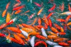 Stagno di pesce di Koi Immagini Stock Libere da Diritti