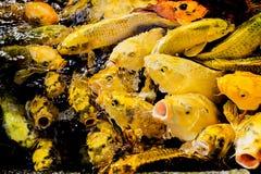 Stagno di pesce di Koi a Jogjakarta Fotografia Stock