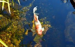 Stagno di pesce di probabilità di intercettazione Fotografie Stock