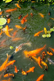 Stagno di pesce dorato e variopinto Fotografia Stock Libera da Diritti