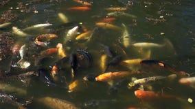 Stagno di pesce di Koi stock footage