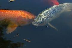 Stagno di pesci Immagine Stock