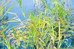 Stagno e piante acquatiche Fotografie Stock