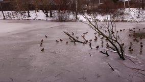 Stagno ed anatre di inverno Immagine Stock Libera da Diritti