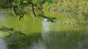 Stagno famoso 4k S.U.A. dell'azienda agricola dell'alligatore di Florida della luce di giorno di estate video d archivio