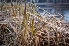 Stagno freddo del paesaggio di inverno con la canna nella priorità alta Fotografia Stock