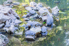 Stagno nazionale del giardino con le tartarughe Fotografia Stock Libera da Diritti